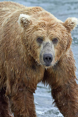 Close Up Portrait Of A Brown Bear Poster by Gary Schultz