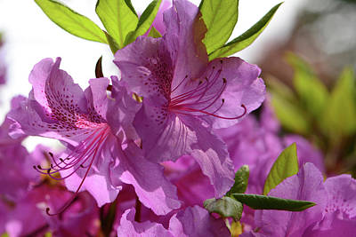 Close View Of A Rhododendron Poster by Darlyne A. Murawski