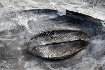 Closed Grey Whale Eye Poster by Christopher Swann