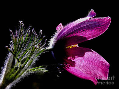 Purple Pasque Flower With Dark Background Poster by Kerstin Ivarsson