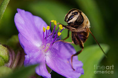 Closeup Of A Bee On A Purple Flower Poster by Nick  Biemans