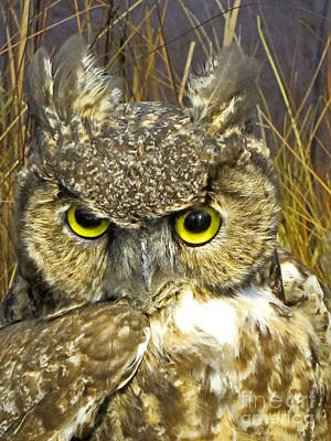 Closeup Of A Great Horned Owl Poster