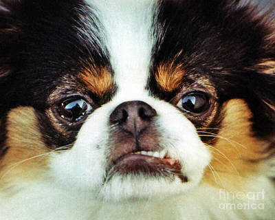 Closeup Of A Japanese Chin Dog Poster by Jim Fitzpatrick