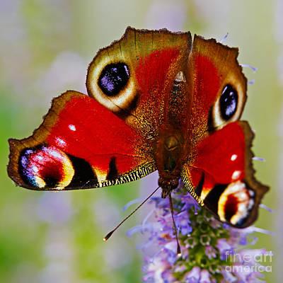 Closeup Of An European Peacock Butterfly  Poster by Nick  Biemans