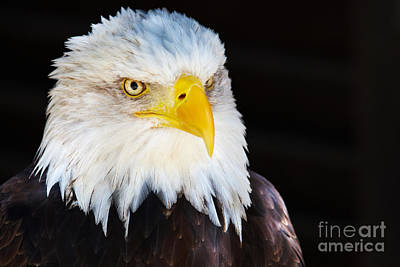 Poster featuring the photograph Closeup Portrait Of An American Bald Eagle by Nick  Biemans