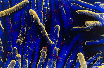 Clostridium Difficile Bacteria Poster by David Phillips
