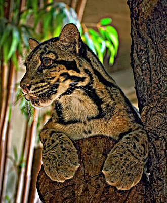 Clouded Leopard Poster by Steve Harrington