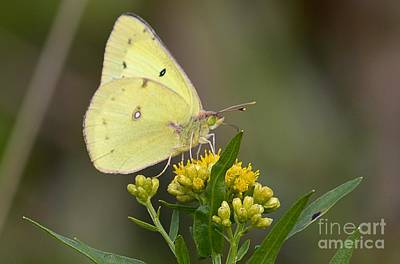 Clouded Sulphur Poster by Randy Bodkins