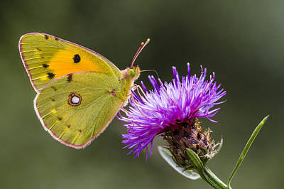Clouded Yellow Butterfly Feeding Poster