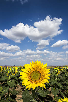 Clouds And Sunflowers Poster