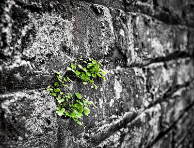 Clover On The Wall Poster by Andrew Crispi