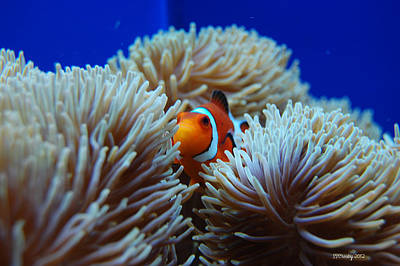 Clown Fish In Sea Anemone Poster