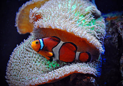 Poster featuring the photograph Clown Fish by Savannah Gibbs