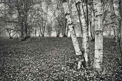 Clumping Birch Trees And Fog Poster