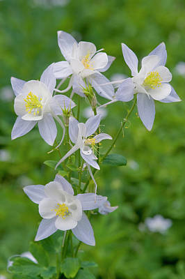 Cluster Of Columbine In Alpine Meadow Poster