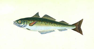 Coal Fish, Gadus Carbonarius, British Fishes Poster