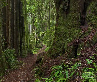 Coast Redwoods And Path Redwood Natl Poster by Yva Momatiuk John Eastcott