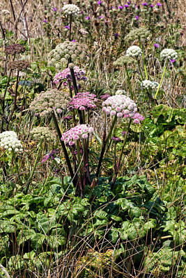 Coastal Angelica In Bloom Poster