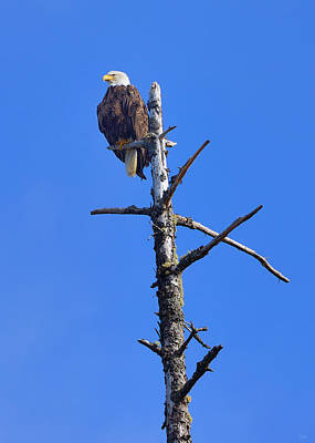 Coastal Bald Eagle Poster by Greg Norrell