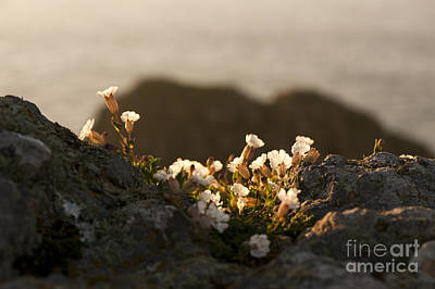 Coastal Sea Campion Poster by Anne Gilbert