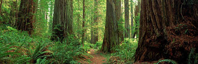 Coastal Sequoia Trees In Redwood Forest Poster