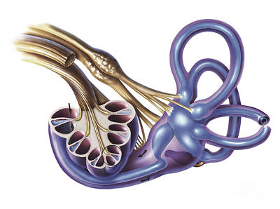 Cochlea Detail With Vestibulocochlear Poster by TriFocal Communications