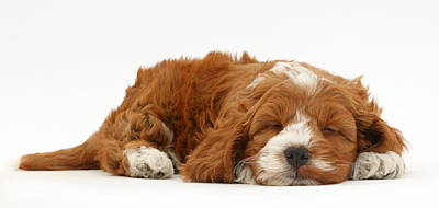 Cockapoo Puppy Sleeping Poster