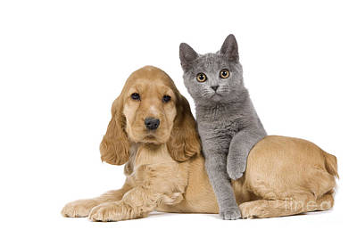 Cocker Spaniel And Chartreux Poster