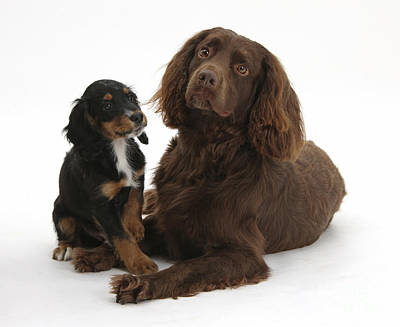 Cocker Spaniel And Tricolor Pup Poster