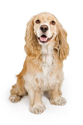 Cocker Spaniel Dog Isolated On White Poster by Susan Schmitz