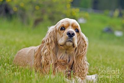 Cocker Spaniel Dog Poster