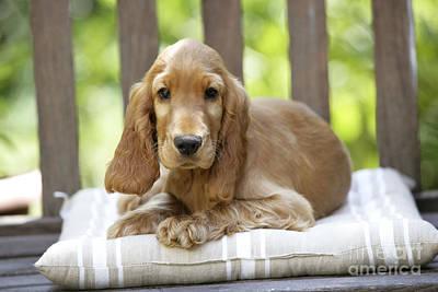 Cocker Spaniel Puppy Dog Poster