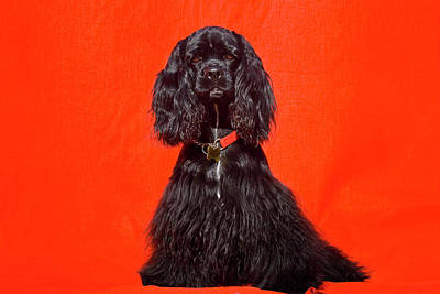 Cocker Spaniel Sitting Against Red Poster