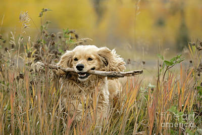 Cocker Spaniel With Stick Poster