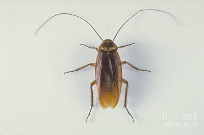 Cockroach Poster by Barbara Strnadova
