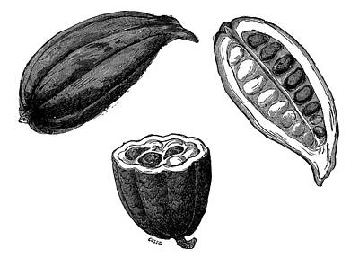 Cocoa Pods Poster by Science Photo Library