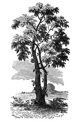Cocoa Tree Poster by Science Photo Library