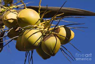 Coconut 1 Poster by Teresa Zieba