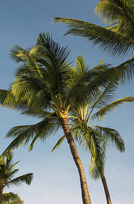 Coconut Palms Sway In Tropical Breezes Poster by Robert L. Potts