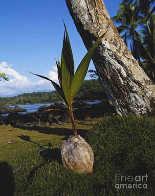 Coconut Seedling Poster by Hans Reinhard/Okapia