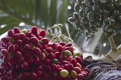 Cocos Nucifera - Niu Mikihilina - Palma - Niu - Arecaceae -  Palmae Poster by Sharon Mau