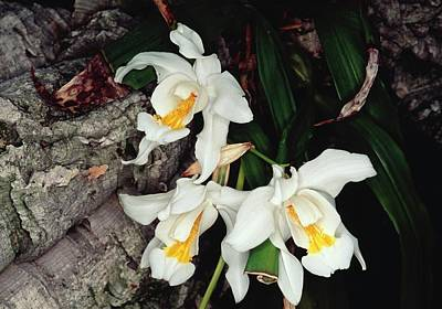 Coelogyne Cristata Epiphytic Orchid Poster by Michael R Chandler