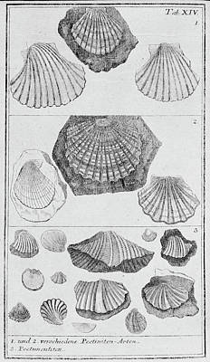 Collection Of Molluscs Poster by Natural History Museum, London