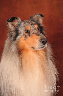 Poster featuring the photograph Collie Portrait by Randi Grace Nilsberg