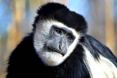 Poster featuring the photograph Colobus Contemplation by Deena Stoddard