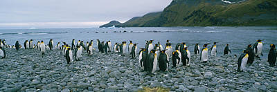 Colony Of King Penguins On The Beach Poster
