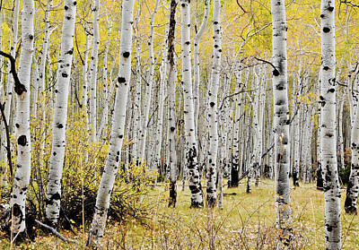 Poster featuring the photograph Colorado Aspens by Geraldine Alexander