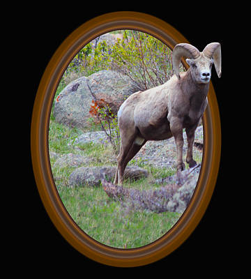 Colorado Bighorn Poster by Shane Bechler