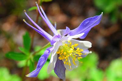 Colorado Blue Columbine Flower Poster by Marilyn Burton