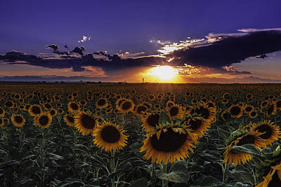Colorado Sunflowers Poster